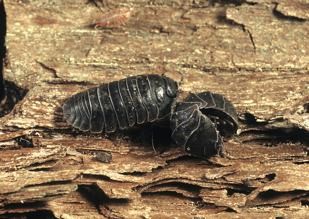 Pill Woodlouse - Armadillidium vulgare