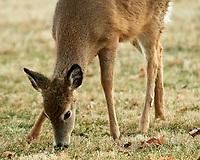Deer. Image taken with a Nikon D5 camera and 600 mm f/4 VR lens