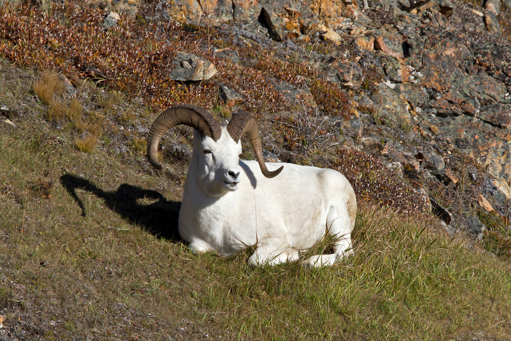 Alaska.  A Dall Sheep ram (Ovis dalli) resting on a patch of grass on a rocky slope not far from a cliff edge below Polychrome Pass in Denali National Park in September.