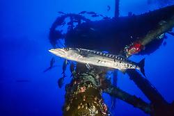 great barracuda, Sphyraena barracuda, and crow's nest structure of the USCGC Duane shipwreck, artificial reef, Key Largo, Florida, USA, Caribbean Sea, Atlantic Ocean