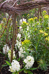 Euphorbia palustris and Hyacinthus 'White Pearl'