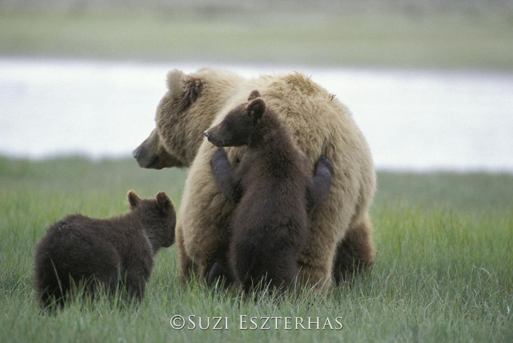 Alaskan Brown Bear<br /> Ursus arctos middendorffi<br /> Curious 4-6 mos old cub (s) leaning against mother<br /> Katmai National Park, AK, USA