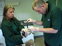 © Licensed to London News Pictures. 31/01/2013. West Hatch, UK. Surviving birds ere taken to the RSPCA centre in West Hatch, Somerset, where staff cleaned them up. Seabirds have washed up on the south coast covered in a mysterious waxy substance The Royal Society for the Protection of Birds (RSPB) said more than 100 distressed birds, mostly guillemots, were discovered at Lyme Bay in Dorset, with reports of others turning up as far away as Cornwall and Sussex.. Photo credit : RSPCA/LNP