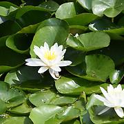 UK Weather: Lotus flowers at Italian garden in Hype park, London, UK. July 26 2018.