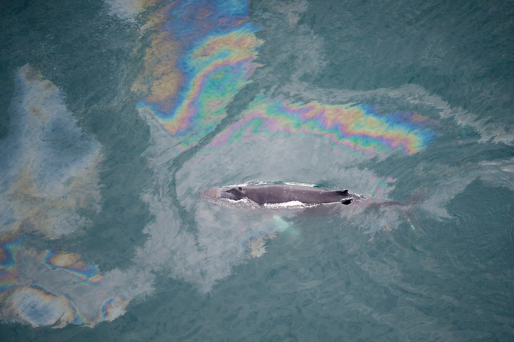 Humpback whale (Megaptera novaeangliae) swimming through oil slick, Skjalfandi Bay, northern Iceland - aerial