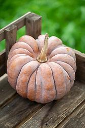 Cucurbita moschata 'Black Futsu' - Pumpkin