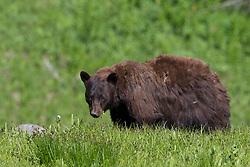 A shaggy forlorn looking cinnamon Black Bear in Yellowstone National Park