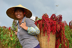 August 29, 2017 - A farmer harvests red quinoa at a planting base in Nanming Town of Jianhe County, southwest China's Guizhou Province.  (Credit Image: © Yang Wenbin/Xinhua via ZUMA Wire)
