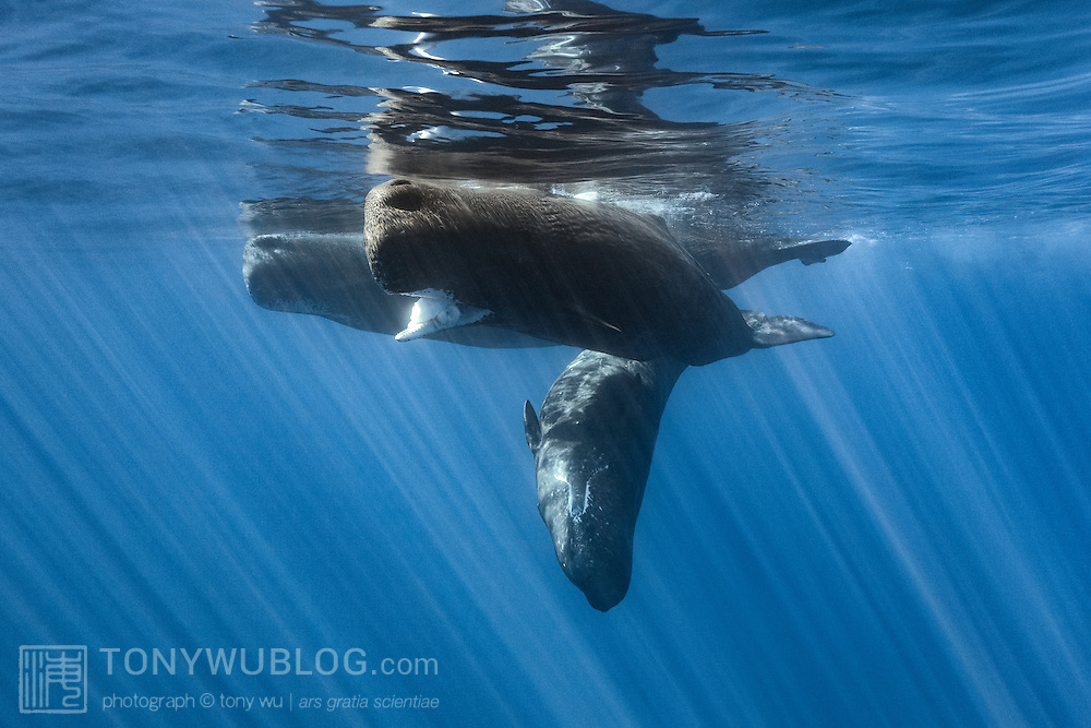 A family of sperm whales (Physeter macrocephalus) resting at the ocean surface, with the lead female holding Architeuthis giant squid in her mouth. There was a calf in this family group that was unable to dive deep for extended periods of time with the adults. It is possible that the adults were teaching the calf to consume giant squid, as the family group played with the squid for an extended period of time, with the whales shredding the squid to pieces in the process. Photographed in Ogasawara, Japan.