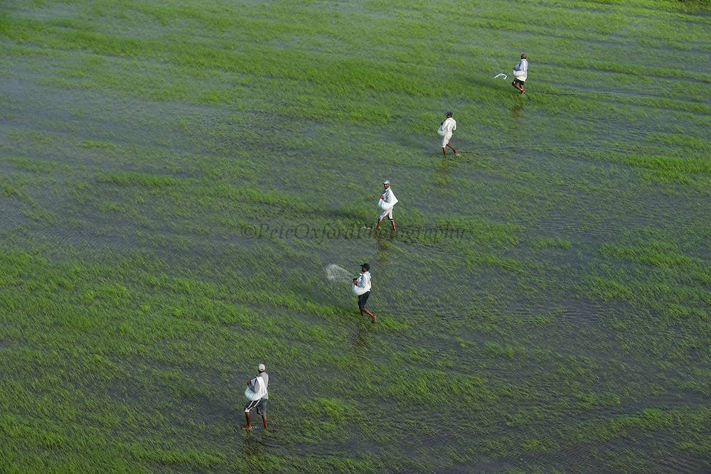 Rice production<br /> Coastal area<br /> Mahaica Miconi<br /> GUYANA<br /> South America