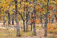 autumn Garry Oak (Quercus garryana) forest, Klickitat Canyon rim, Klickitat County, WA, USA