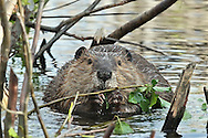 Beaver having a bit of dinner in Grand Teton National Park
