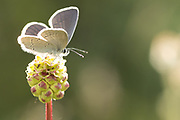 Small blue (Cupido minimus) on salad burnet (Sanguisorba minor). Surrey, UK.