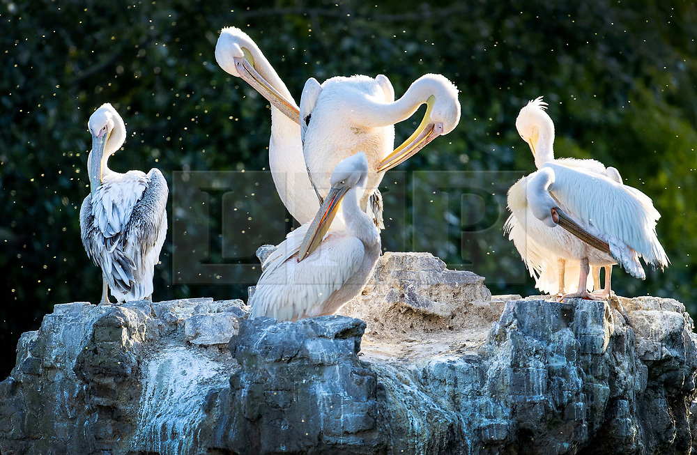 © Licensed to London News Pictures. 15/05/2020. London, UK. Pelicans preen themselves at first light in St James's Park in central London. First given to the park in 1664 as a gift from the Russian Ambassador, the pelicans are currently being fed fresh fish out of sight from the public so as not to attract a crowd during the pandemic. Photo credit: Peter Macdiarmid/LNP