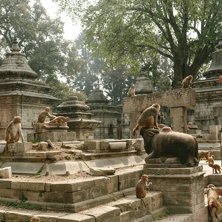 Monkeys climb temples at Pashupatinath, a famous Shiva temple complex.