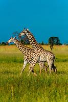Giraffes on the move, Kwara Camp, Okavango Delta, Botswana.
