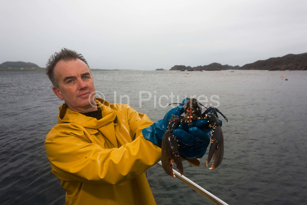 Local fisherman Neil Cameron shows lobster caught between Fionnphort and Iona, Isle of Mull, Scotland. The contents of 500 creels is taken every week by truck and sold to Spain. On each line are 25 creels that are spaced out in different areas of the nearby bays. The main fishing on the Ross of Mull, Ulva Ferry and Tobermory is now is commercial shell fishing with baited traps (creels) for lobsters (homarus gamarus), edible brown crabs (cancer pagurus), Prawn (Norwegian Lobster) and velvet swimming crab (necora puber). Scallop dredgers and Prawn trawlers also operate from both ends of the island, dragging the seabed for their catch. Before the late 1960s shell fishing with creels was generally carried out on a seasonal or part time basis allied to crofting, farming or another shore based job.
