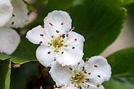 Macro photo of small flowers of a Common Hawthorn (Crataegus monogyna) in the Fraser Valley of British Columbia, Canada