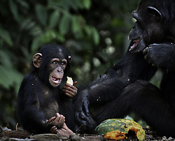 March 6, 2016 - Charlesville, Liberia - Former research chimps are fed by members of Liberian Chimpanzee Rescue on March 6, 2016 after decades of biomedical experimentation in Liberia, West Africa. .LCR is a program of Humane Society of the United States.  HSUS and New York Blood Center came to an agreement recently in May 2017 after years of discussion about the care of research chimps NYBC had abandoned in Liberia, West Africa when they withdrew all funding for food and water.  In March 2016, a team from HSUS visits to view the situation.  NYBC also refused to pay for their caregivers who used their own meager finances to continue feeding them. They now live on six islands serving as a sanctuary.  The HSUS stepped in to assist and improve the dire situation in which the chimpanzees were literally left to die if not for the heroic efforts of their original caregivers who had worked for NYBC and were abandoned as well. (Credit Image: © Carol Guzy via ZUMA Wire)