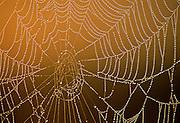 Spider web & dew at dawn.