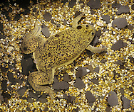 African Clawed Toad Xenopus laevis Length 10-12cm Native of southern Africa and laboratory animal. Body is extremely flattened and olive-brown marked with darker spots. Colonies have become established in few rivers in south Wales.