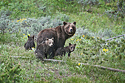 Grizzly bear sow and three cubs, startled and standing. Grand Teton National Park in Jackson Hole, WY