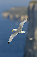 Kittiwake - Rissa tridactyla - summer adult. L 38-42cm. A true seagull: non-breeding life spent entirely at sea. Sexes are similar. Adult has blue-grey back and upperwings with black wingtips; plumage is otherwise white. Bill is yellow; eye and legs are dark. In flight, wingtips look dipped in black ink. In winter, similar but head has grubby patches behind eye. Juvenile has black 'V' markings on upperwing; back and upperwing coverts are grey and note triangle of white on flight feathers, dark tip to tail, black half collar and dark markings on head; bill is dark. 1st winter is similar to juvenile but gradually loses dark half collar and black tail tip. Voice Utters diagnostic kittee-wake when nesting. Status Nests colonially on coastal cliff ledges but also dockside factories etc. Non-breeding period spent far out to sea.