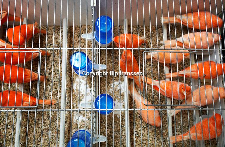 Nederland, the netherlands, Zwolle, 11-1-2019De vogelshow com mondial 2019 is een van de grootste in zijn soort en trekt veel nationale en internationale vogelfokkers en liefhebbers naar de ijsselhallen .Foto: Flip Franssen