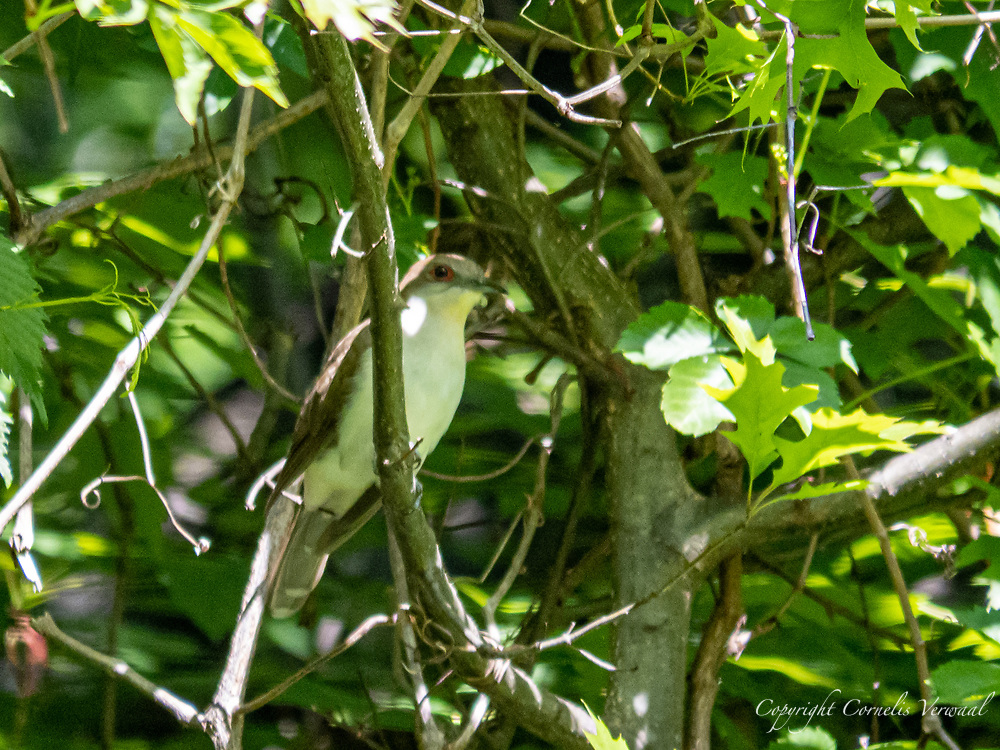 A Black-billed Cuckoo at Maintenance Meadow in Central Park
