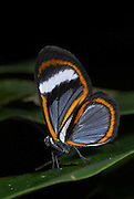 Clearwing Butterfly, Oleria Species, on forest leaf, Manu, Peru, Amazon jungle, delicate, blue, white and orange patterns, side view of wings,. .South America....