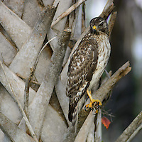 Hawk on a Palm Tree in Merritt Island National Wildlife Refuge. Image taken with a Nikon 1 V2 and 180 mm f/2.8D lens (ISO 800, 180 mm, f/2.8, 1/640 sec). FOV = 486 mm.