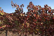 Vine Leaves Autumn Colours in a vineyard Kibbutz Ortal, Golan Heights, Israel