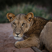 A young lion in Samburu National Reserve stares into the camera in early morning light.