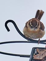 Carolina Wren (Thryothorus ludovicianus). Image taken with a Leica SL2 camera and 90-280 mm lens.