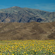 The desert blooms after an unusually rainy spring near the lowest point in the Western Hemisphere in Death Valley National Park, CA.