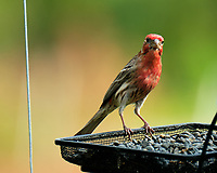 House Finch. Image taken with a Fuji X-T2 camera and 100-400 mm OIS telephoto zoom lens.