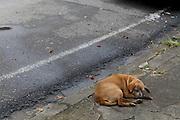 Sleeping Dog, Turrialba, Costa Rica