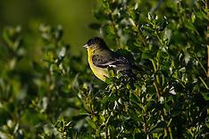 Lesser Goldfinch (Carduelis psaltria)