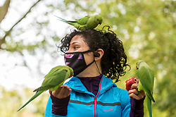 © Licensed to London News Pictures. 14/10/2020. LONDON, UK. A woman wearing a facemask feed feral ring-necked parakeets in St. James's Park.  This species is now widespread across the capital and as their south Asian native range extends into the foothills of the Himalayas, they are unperturbed by mild English winters but will accept any food handouts if they can.  Photo credit: Stephen Chung/LNP
