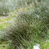Dew gathers on grasses  near Stromness Bay, South Georgia, Antarctica.