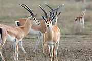 Grant's gazelles in African habitat