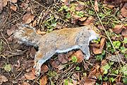 Dead Eastern grey squirrel, Sciurus carolinensis, lying on the ground, UK holes in fur shot gun