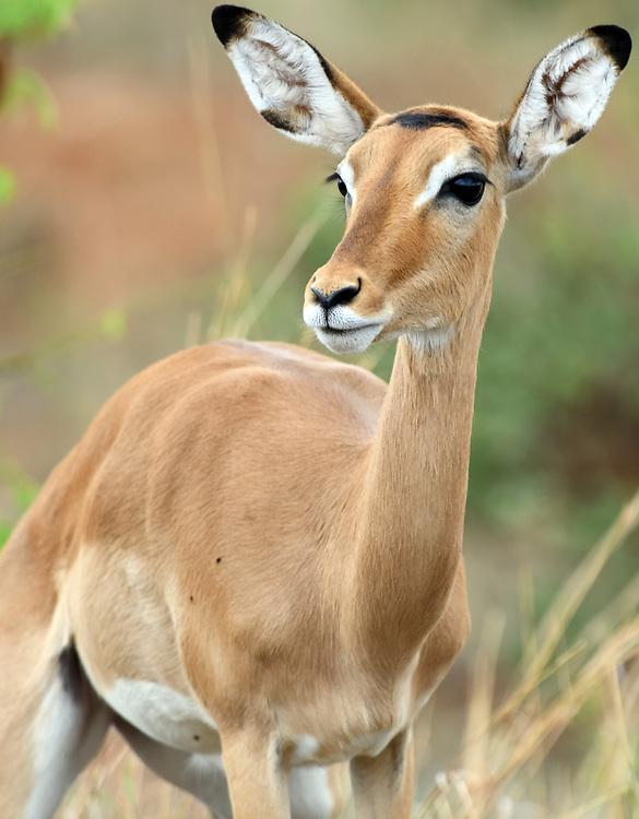 Close-up portrait of a female impala (Aepyceros melampus).  Tarangire National Park, Tanzania.