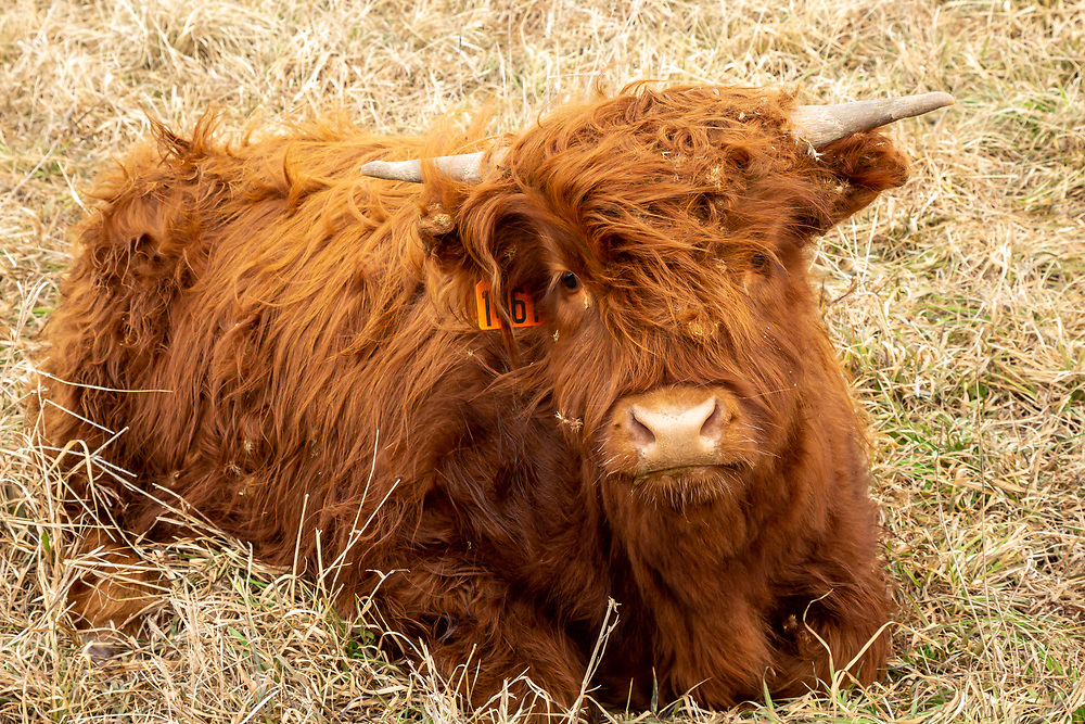 Scottish Highland calf, approximately five months old. Photo taken December 27, 2019, at Fountain Prairie Farm, Fall River, WI.