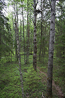 Nest of Great grey owl (Strix nebulosa)  in boreal forest, Oulu, Finland.