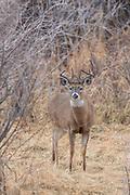 Whitetail deer during autumn rut in Wyoming Whitetail buck during the autumn rut