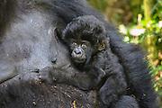 Close-up portrait of an infant mountain gorilla  (Gorilla beringei beringei) in the forest, Parc de Volcanos, Rwanda, Africa