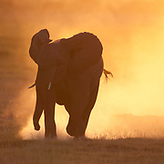 African Elephant running in Amboseli National Park, Kenya, Africa.