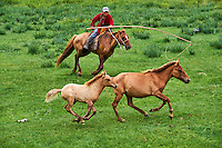 Mongolie, Province de Ovorkhangai, Vallee de l'Orkhon, campement nomade, Sedbazar rassemble ses chevaux // Mongolia, Ovorkhangai province, Orkhon valley, Nomad camp, Rallying of horses drove with Sedbazar