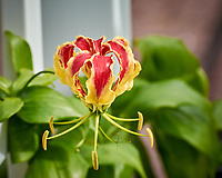 Flame Lily Flower. Image taken with a Nikon 1 V3 camera and 70-300 mm VR lens (ISO 200, 124 mm, f/5, 1/640 sec).